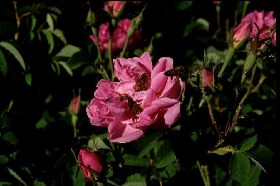 Al Gadhi Rose Factory Taif, SAUDI CAVES - The Roses of Taif