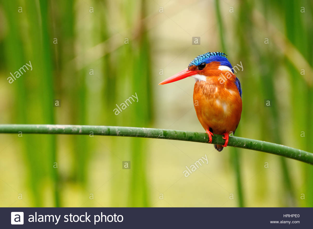 Amora Gedel Park Awasa, Kingfisher in the Amora Gedel national park in the vicinity of the ...