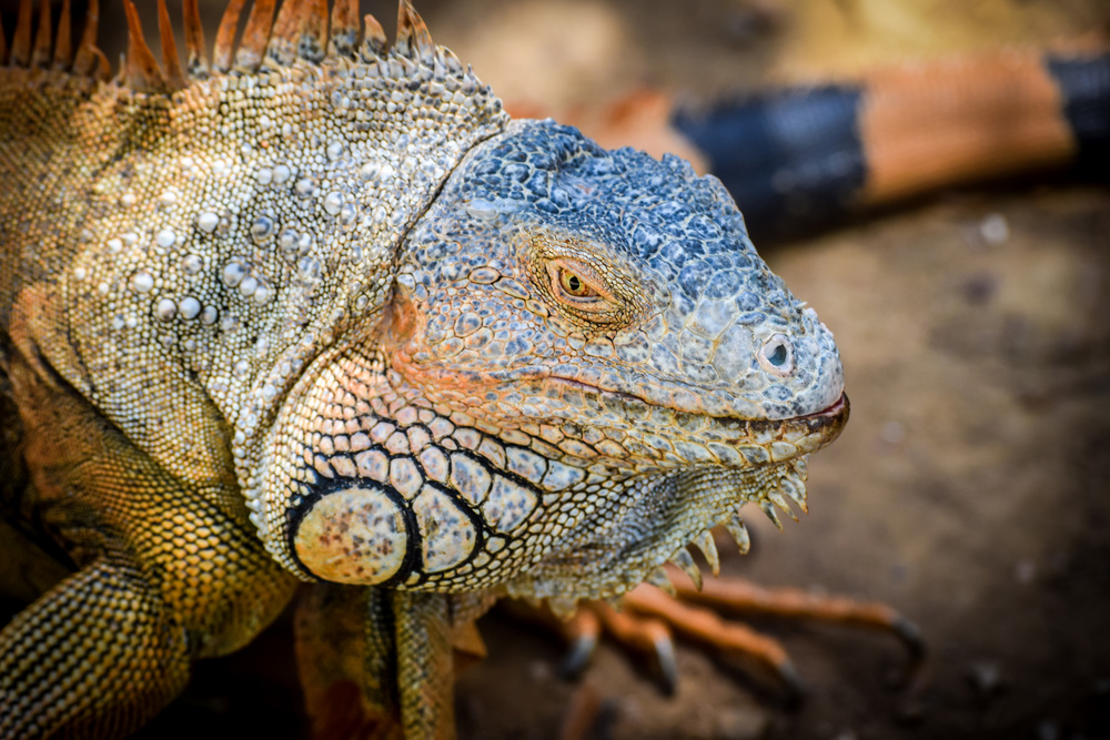 Arch's Iguana Farm French Harbour, Getting Friendly with the Iguanas of Roatán — Sidetracked Travel Blog
