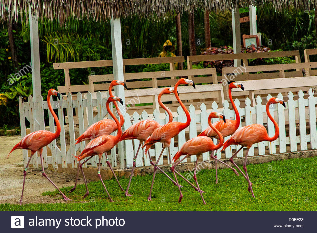 Ardastra Gardens, Zoo & Conservation Center Nassau, Caribbean flamingos perform their daily march at the Ardastra ...