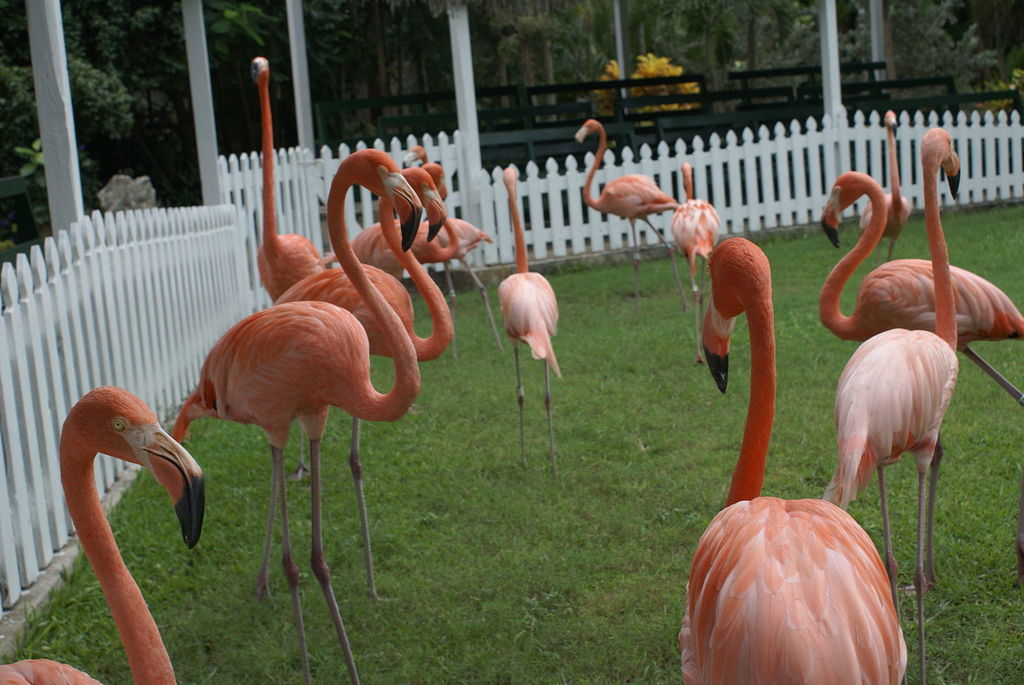 Ardastra Gardens, Zoo, and Conservation Centre New Providence and Paradise Islands, Best Things To Do In Nassau, Bahamas Besides The Beach | Trip101