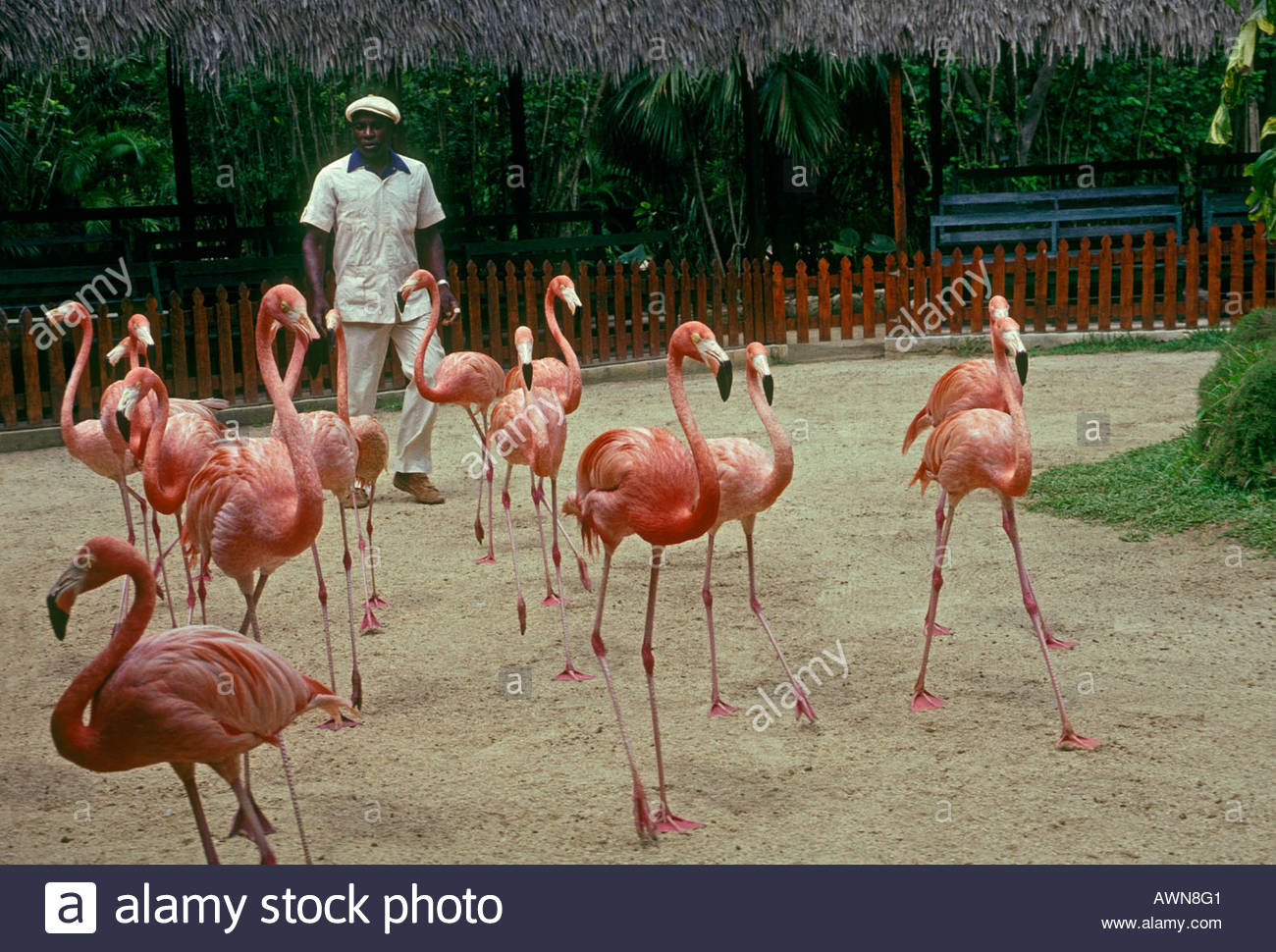 Ardastra Gardens, Zoo, and Conservation Centre New Providence and Paradise Islands, Bahamian people person man marching flamingos Ardastra Gardens Zoo ...