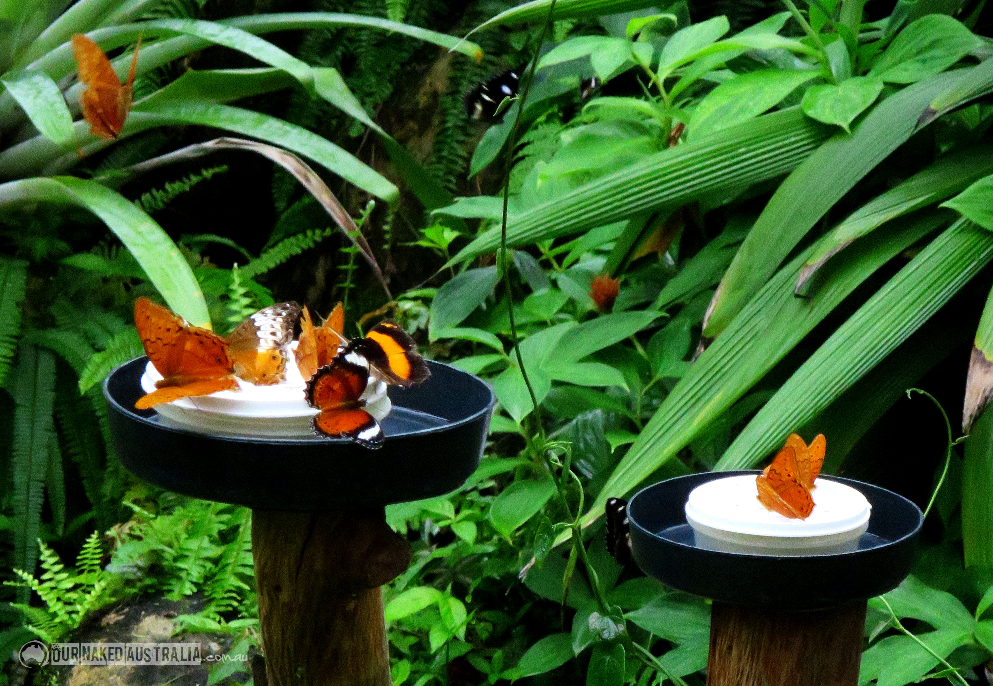 Australian Butterfly Sanctuary Kuranda, butterfly | Our Naked Australia