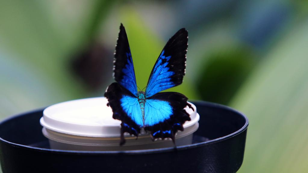 Australian Butterfly Sanctuary Kuranda, Concerns that Ulysses butterfly is going extinct in tropical North ...
