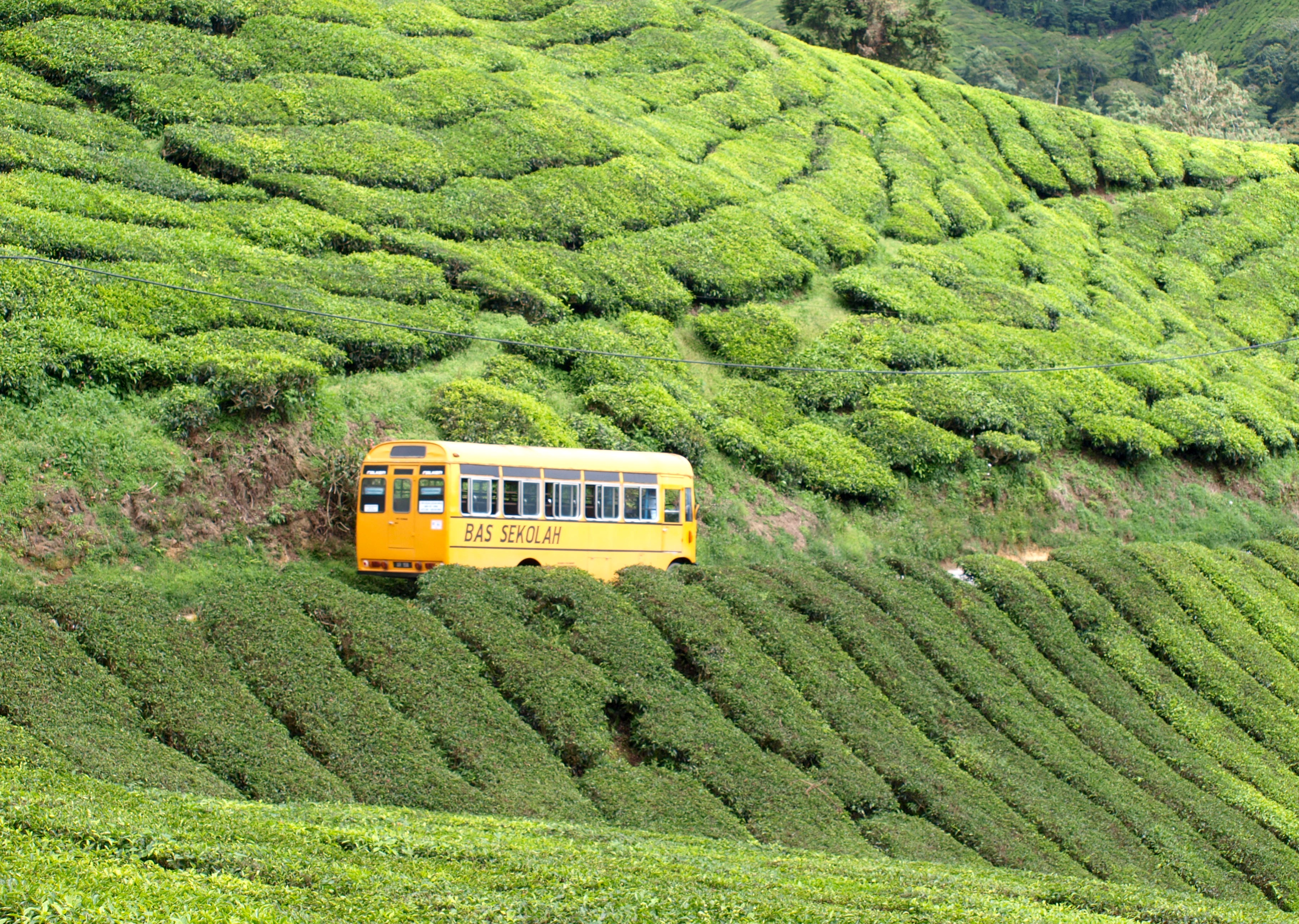 Boh Tea Estate Cameron Highlands, Tea Time: The Cameron Highlands | From Sketty to sweaty
