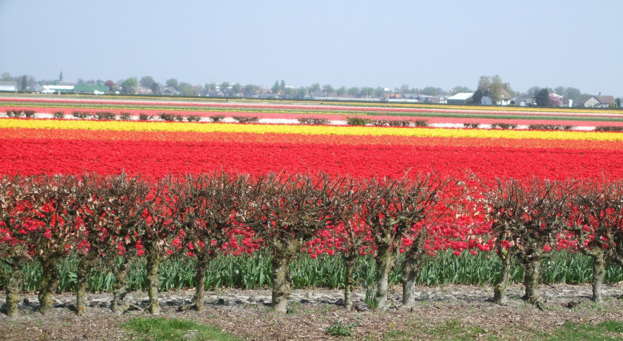 Bollenstreekroute Day Trips from Amsterdam, Visiting Dutch Gardens   Rachel's Ruminations