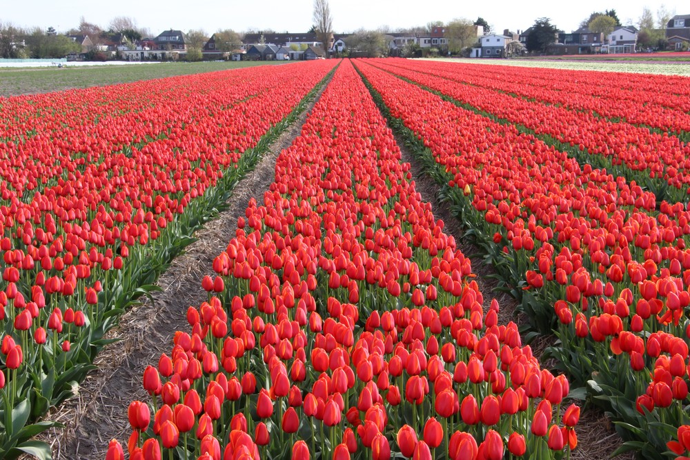Bollenstreekroute Day Trips from Amsterdam, A guide to tulips season in Holland - DutchReview