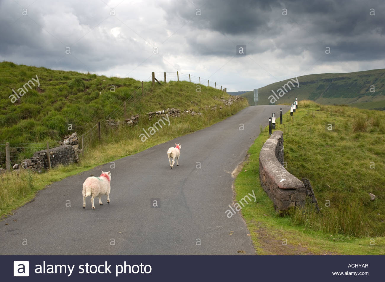 Brecon Beacons National Park South Wales, sheep on remote rural road to Trecastle in the Brecon Beacons ...