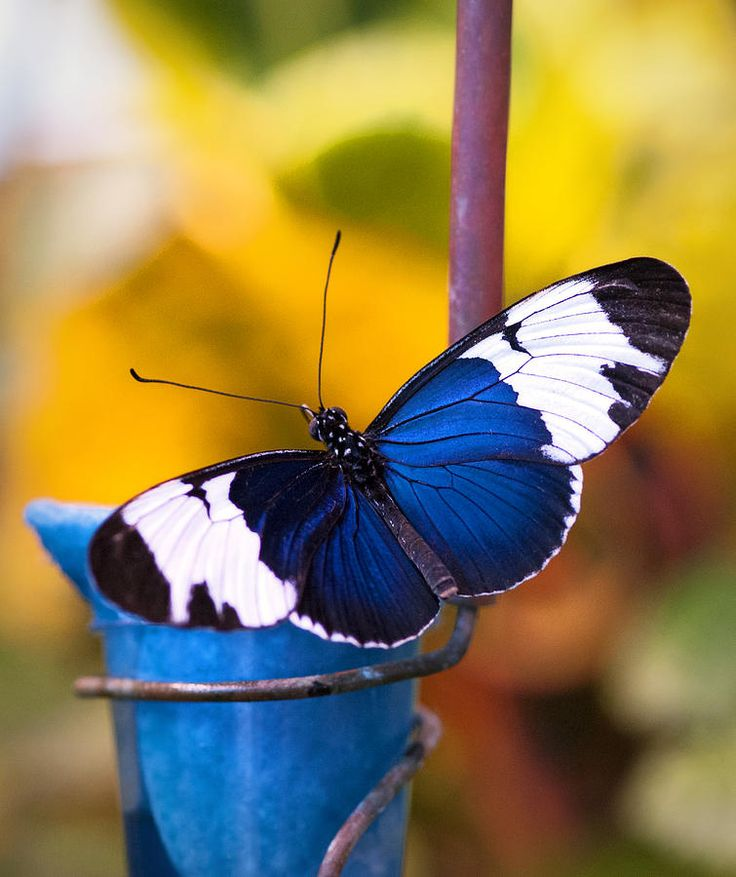 Butterfly and Insect Museum Honduras' Caribbean Coast, 257 best Butterfly images on Pinterest | Butterflies, Beautiful ...