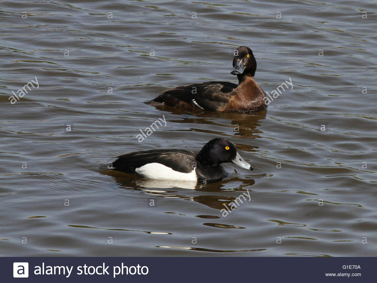 Castle Espie Wildfowl & Wetlands Centre Strangford Lough, Castle Espie, Northern Ireland, UK. 13th May 2016 Tufted ducks at ...