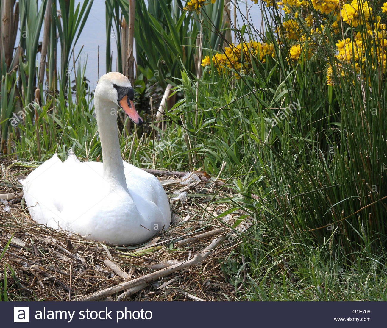 Castle Espie Wildfowl & Wetlands Centre Strangford Lough, Castle Espie, Northern Ireland, UK. 13th May 2016 Mute swan on the ...