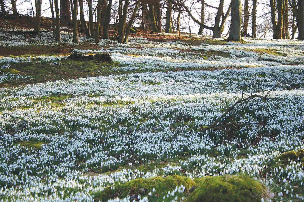 Castle Kennedy Gardens The Borders and the Southwest, Scottish Snowdrop Festival 2017