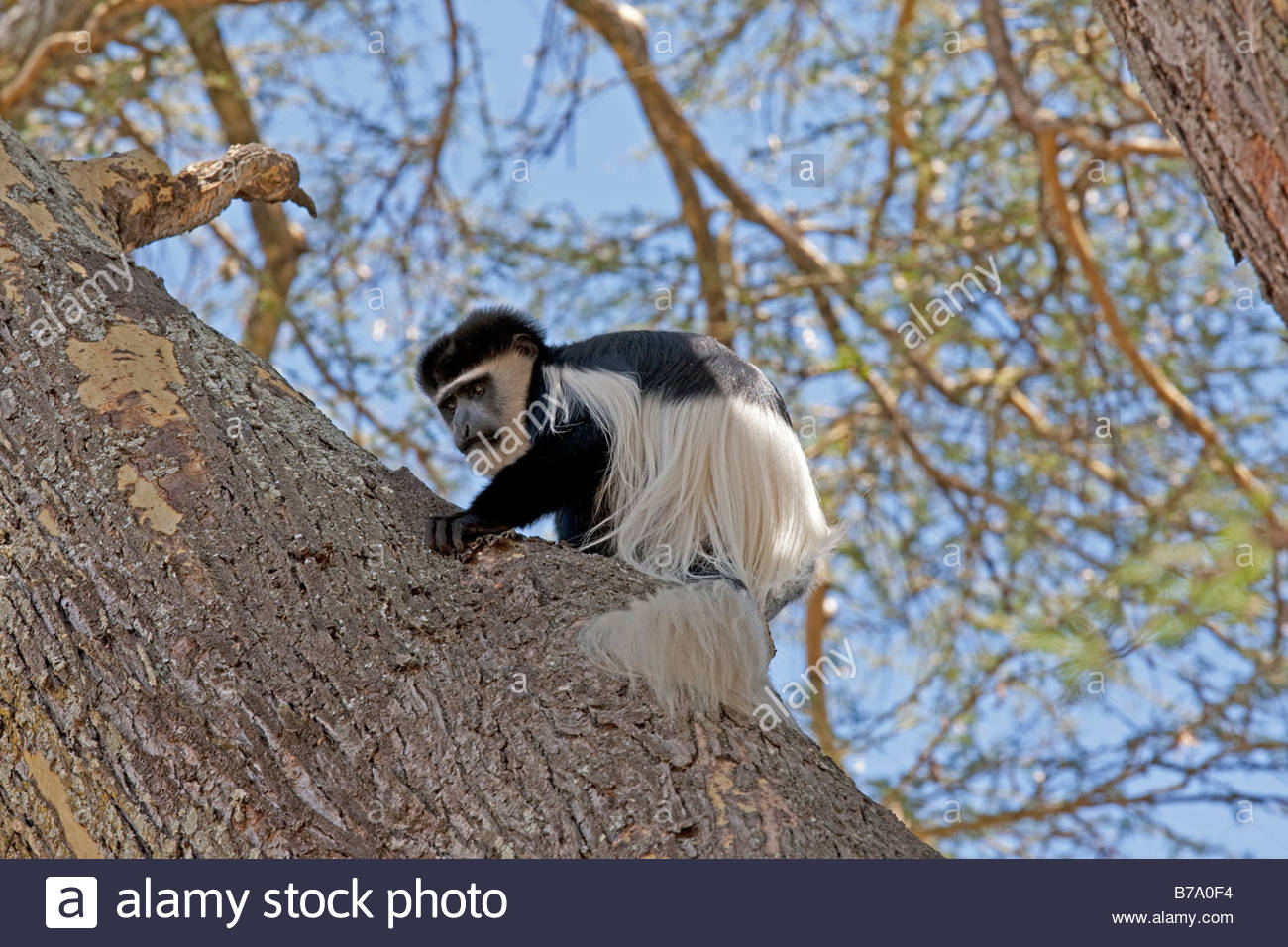 Colobus Conservation Centre Diani Beach, Black And White Colobus Monkey Stock Photos & Black And White ...
