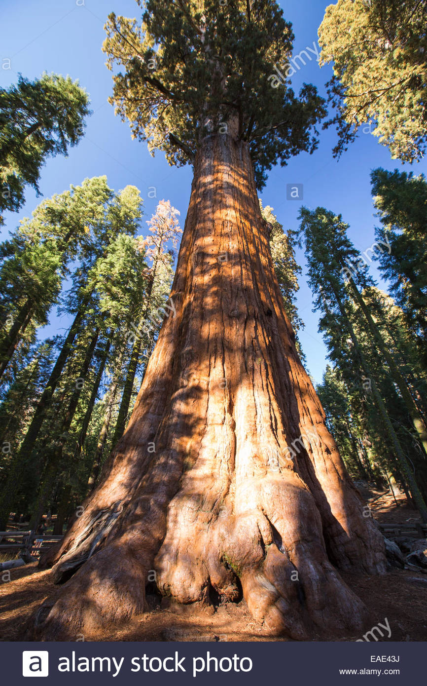Columbine Sequoia and Kings Canyon National Parks, The General Sherman tree a Giant Redwood, or Sequoia ...