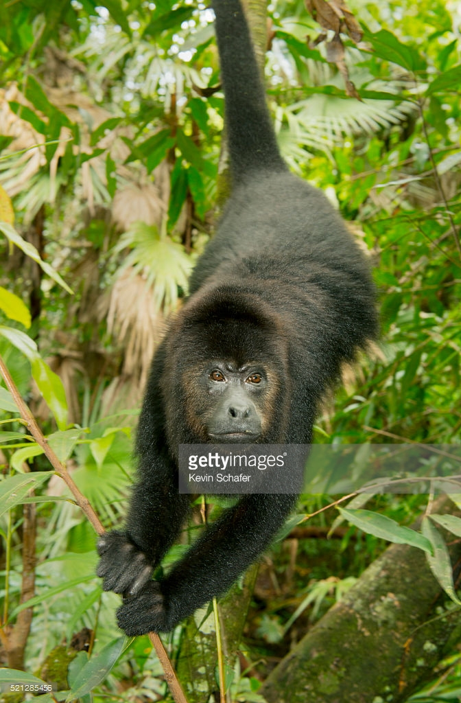 Community Baboon Sanctuary Community Baboon Sanctuary, Mexican Black Howler Monkey Endangered Wild Community Baboon ...