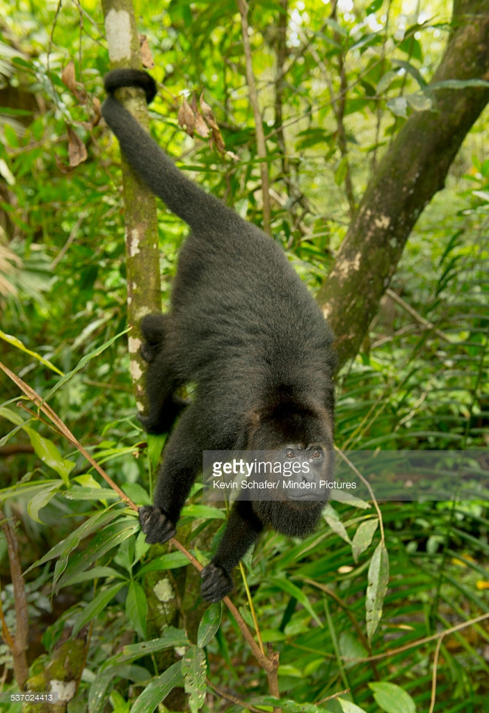 Community Baboon Sanctuary Community Baboon Sanctuary, Mexican Black Howler Monkey In Tree Community Baboon Sanctuary ...