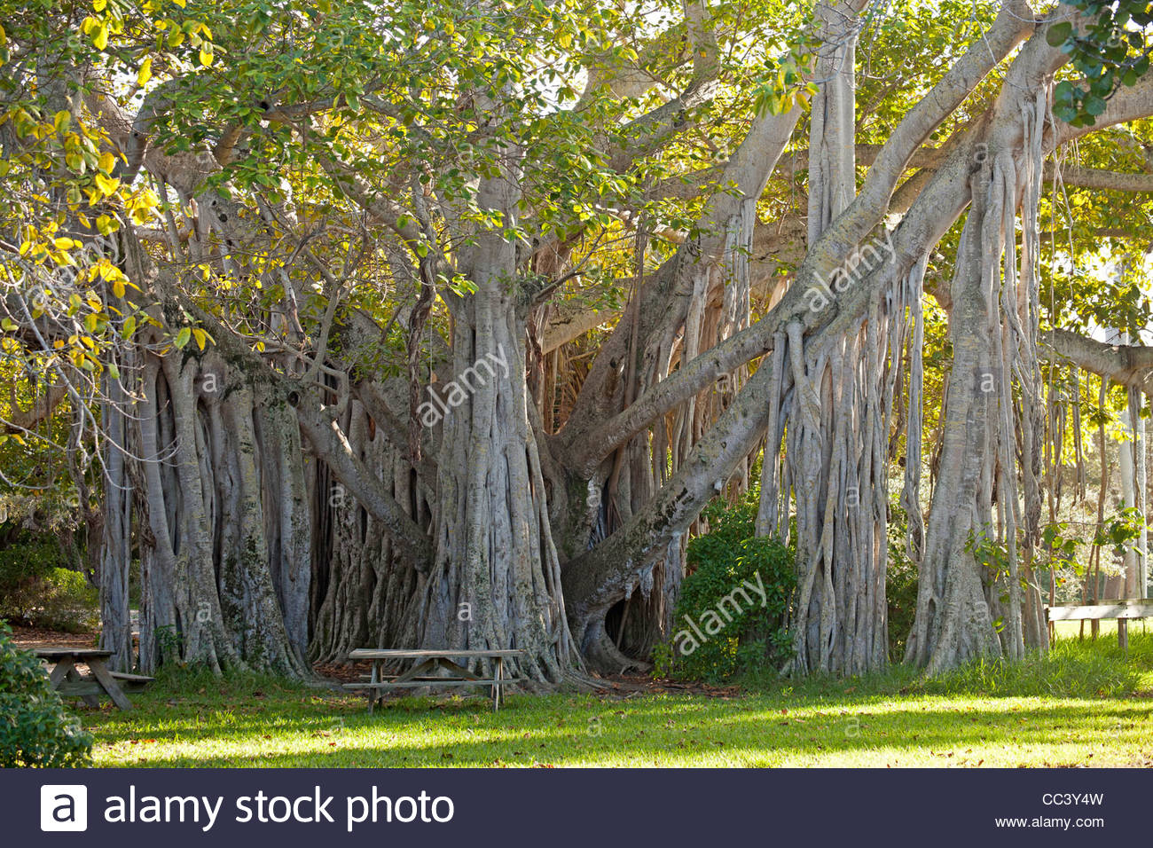 Dr. Von D. Mizell-Eula Johnson State Park Fort Lauderdale and Broward County, giant Ficus lofty fig at Hugh Taylor Birch State Park in Fort ...