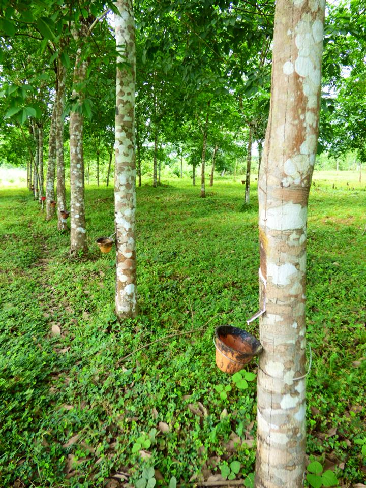 Firestone Rubber Plantation Marshall, Liberia: Firestone Rubber Tree Plantation – travel2unlimited