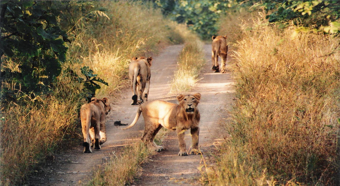 Gir National Park Gir National Park & Wildlife Sanctuary, PARADISE JUNGLE TRIP » Gir National Park