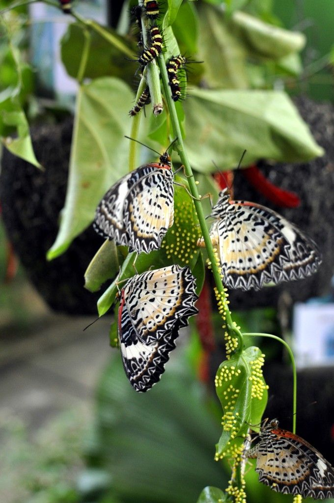 Green Hills Butterfly Ranch and Botanical Collections The Cayo District, 88 best PLAN A BUTTERFLY VACATION images on Pinterest   Butterfly ...