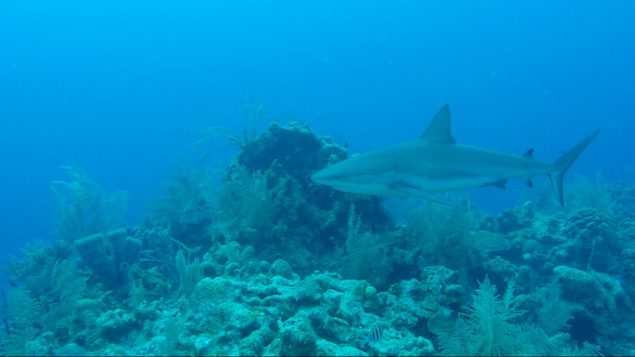 Half Moon Caye Wall The Cayes and Atolls, In the Field: Scuba Diving Belize's Half Moon Caye Wall - YouTube