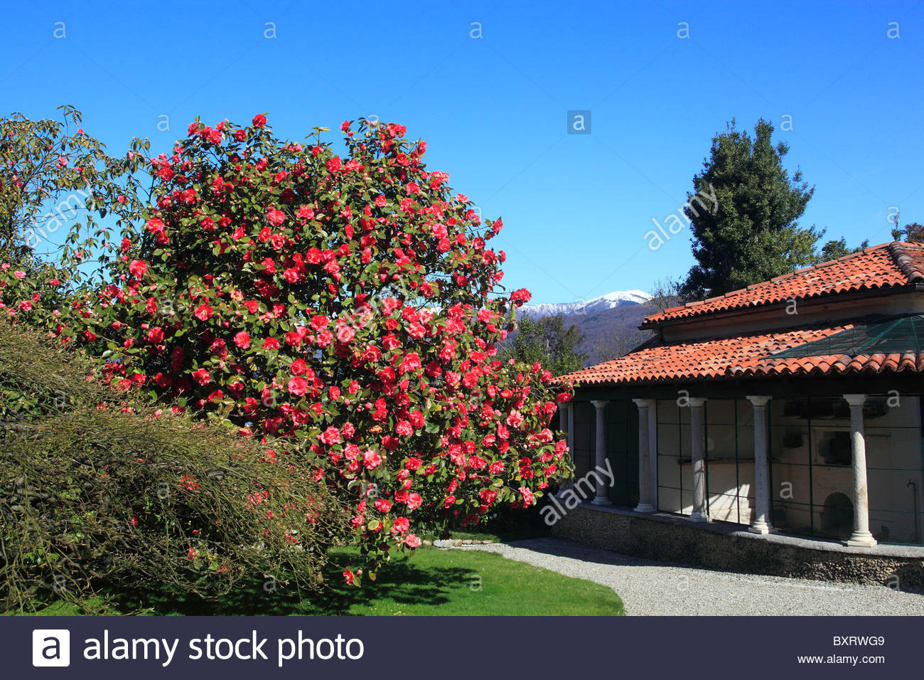 Isola Madre Borromean Islands, Garden with Camellia japonica, Isola Madre, Borromean Islands ...