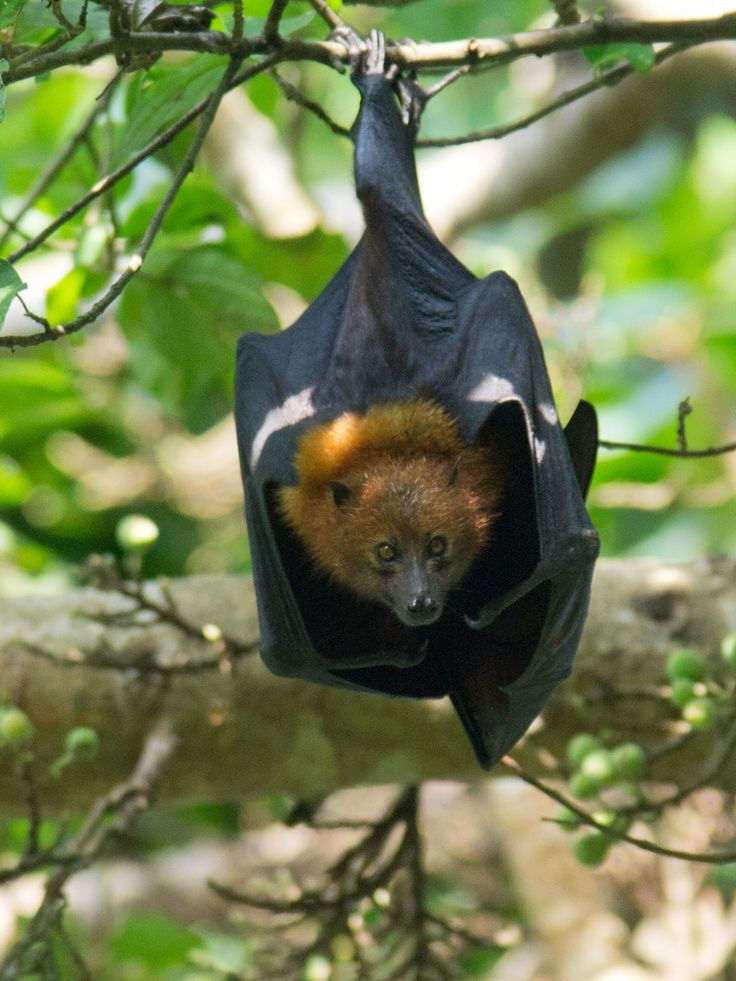 Kidike Flying Fox Sanctuary Pemba, Dayak fruit bat who lives on the Malay Peninsula. In this species ...