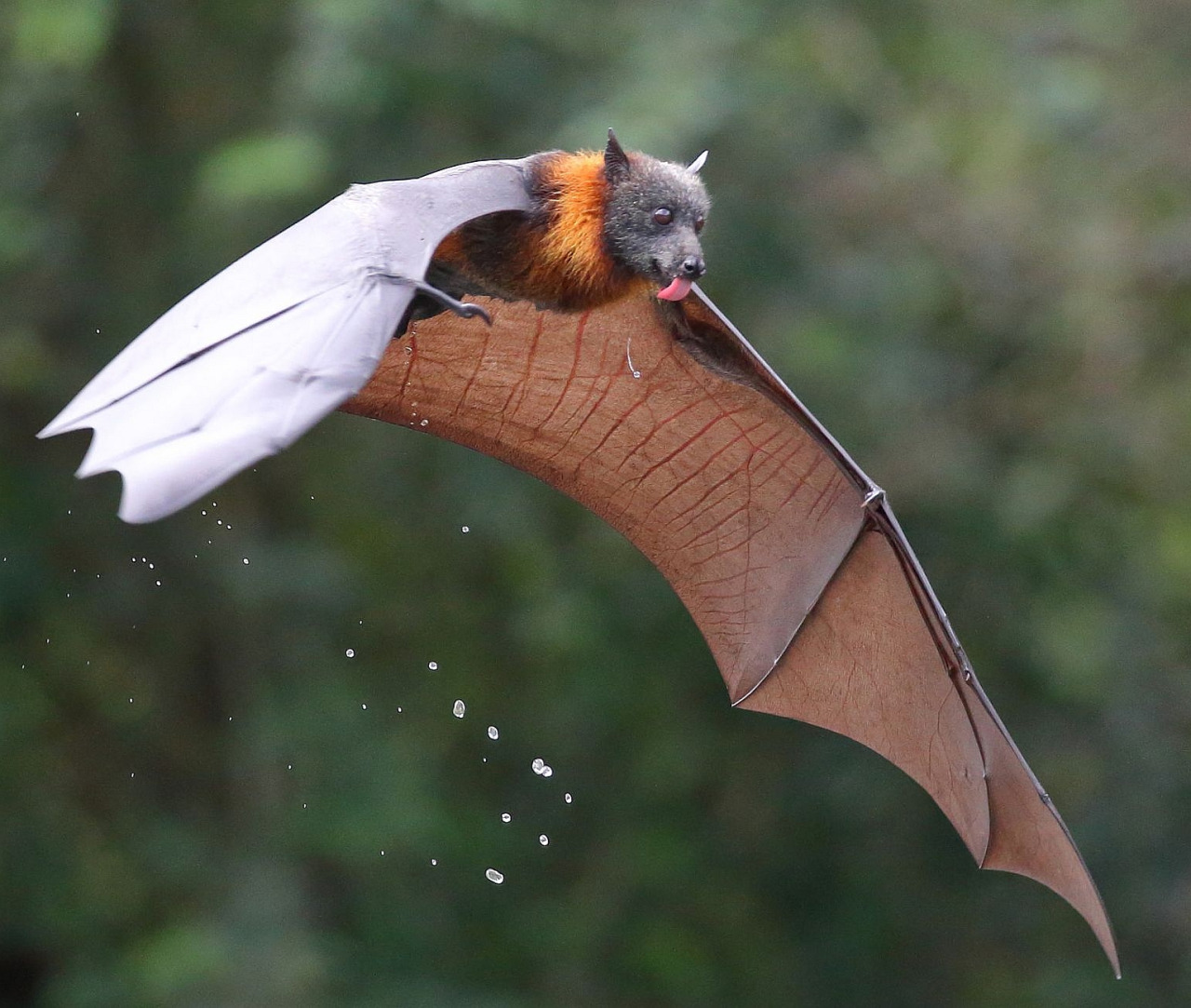 Kidike Flying Fox Sanctuary Pemba, Thirsty by © Michael Cleary Grey-headed Flying Fox licking water ...