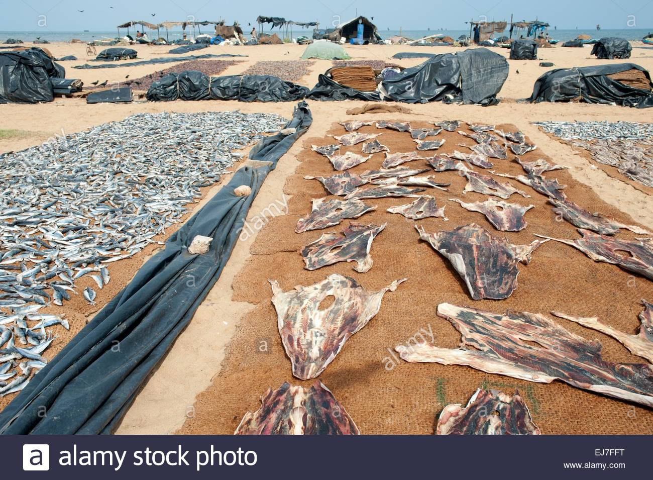 Main Fish Market Negombo, Sri Lanka Daily Life Negombo Sri Lanka Fish market. Although the ...