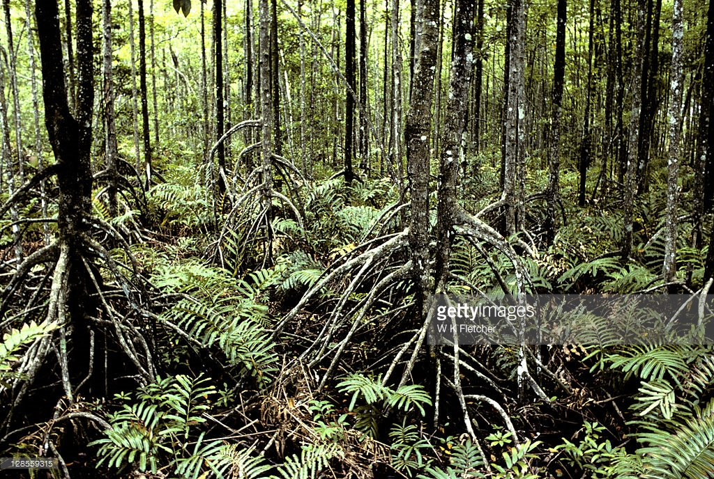 Matang Mangrove Forest Reserve Kuala Sepetang, Mangrove Trees With Stilt Roots In Matang Mangrove Forest Reserve ...