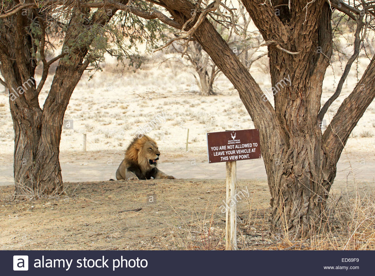 Mooiplaas Picnic Spot Kruger National Park, a big male lion resting behind warning sign do not leave your car ...