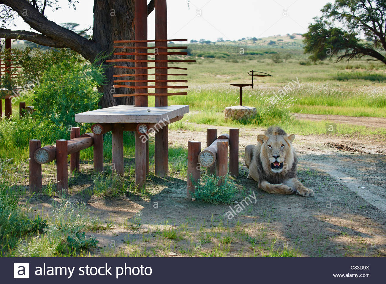 Mooiplaas Picnic Spot Kruger National Park, male lion on a picnic site, Panthera leo, Kgalagadi Transfrontier ...