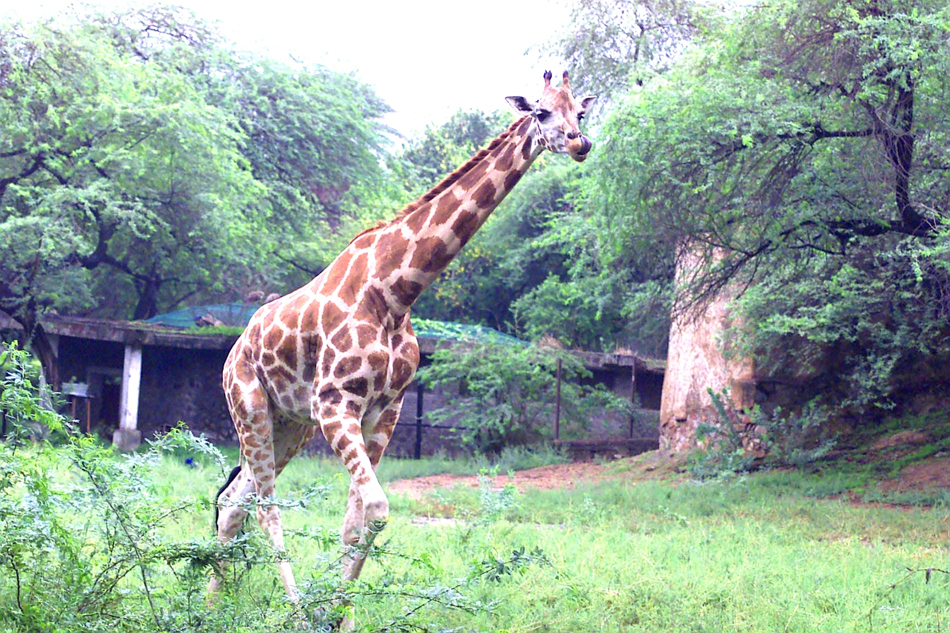 National Zoological Park Delhi, Giraffe At National Zoological Park Delhi | Manthan Diary