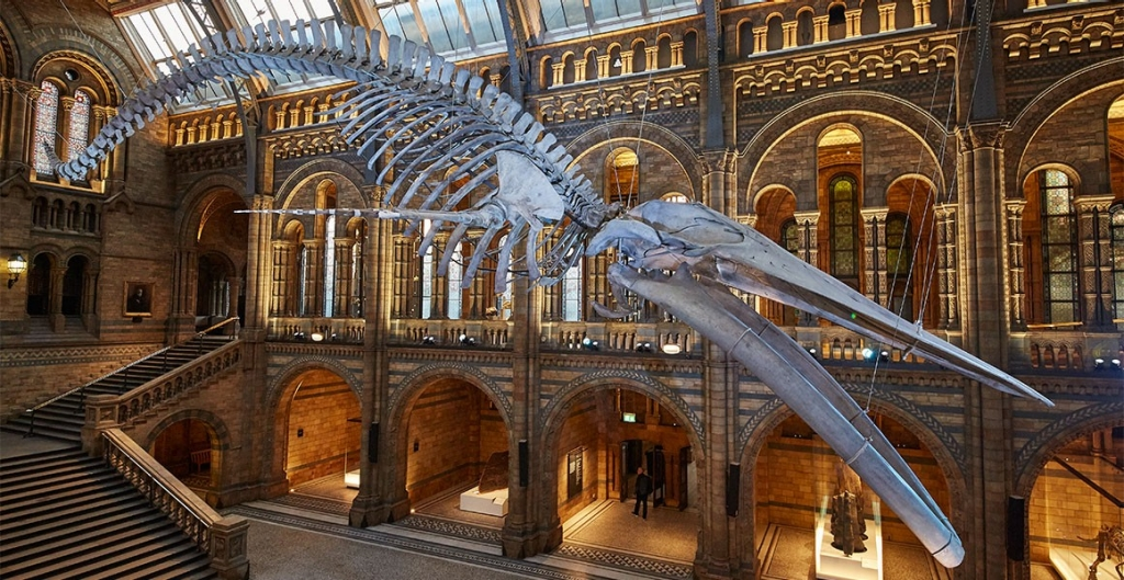 Natural History Museum London, Museum unveils 'Hope' the blue whale skeleton | Natural History Museum
