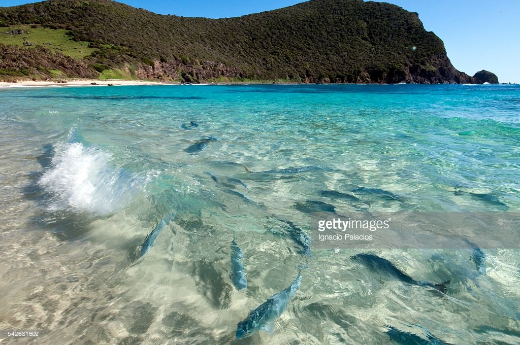 Ned's Beach Lord Howe Island, Fish At Neds Beach Lord Howe Island Stock Photo   Getty Images