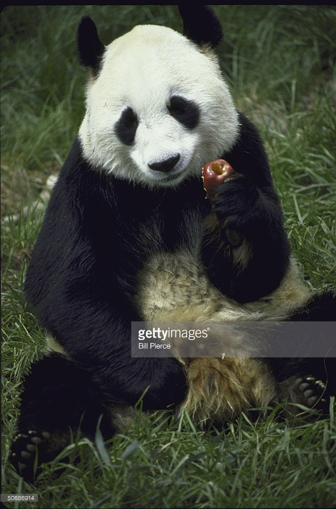 Palace of Great Brilliance Běijīng, Giant panda, either Ling ling or Yong Yo Pictures   Getty Images