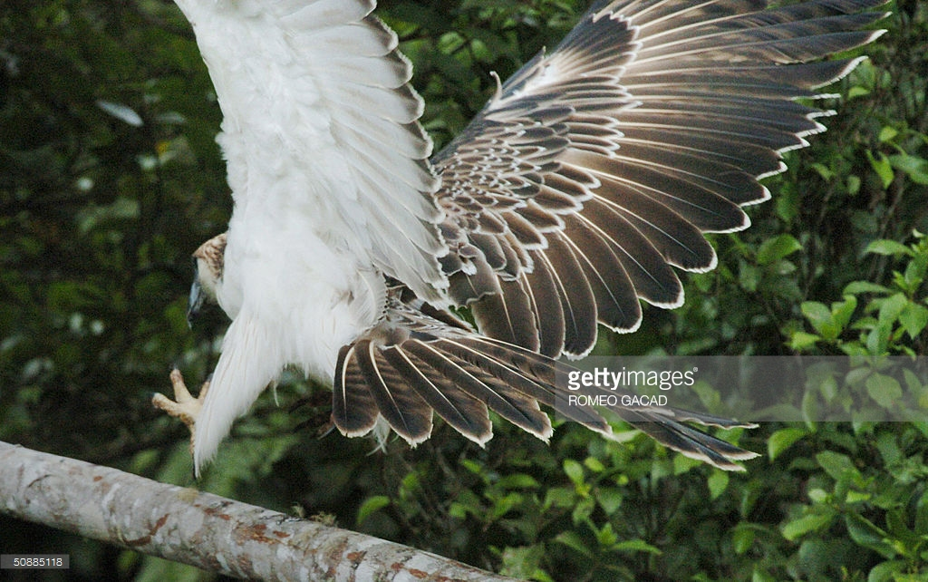 Philippine Eagle Center Southern Mindanao, FILES) A rare Philippine eagle nickname Pictures | Getty Images