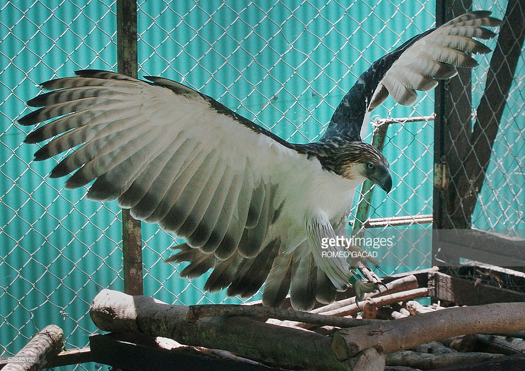 Philippine Eagle Center Southern Mindanao, A rare Philippine Eagle named Arakan lan Pictures | Getty Images