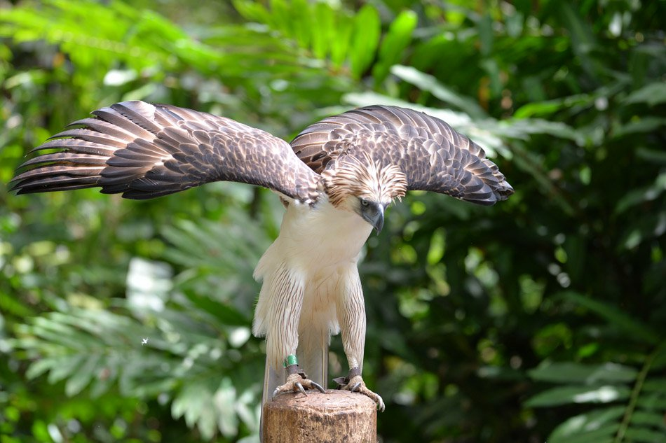 Philippine Eagle Center Southern Mindanao, Sanctuary offers hope for endangered Philippine eagle | ABS-CBN News