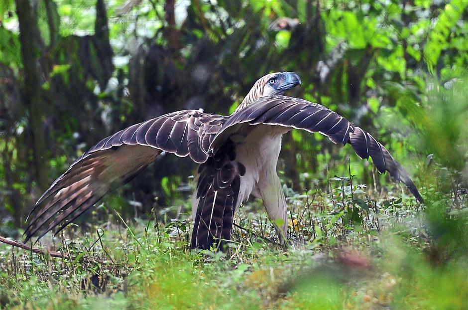 Philippine Eagle Center Southern Mindanao, This little Philippine eagle needs help to not go extinct - Star2.com