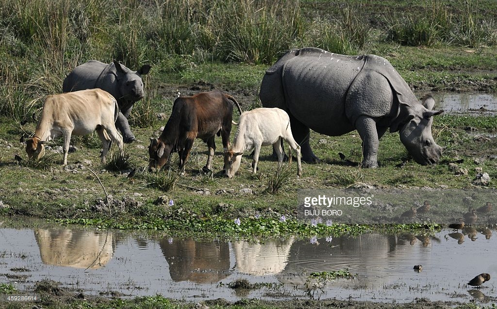 Pobitora Wildlife Sanctuary Guwahati, A one-horned Rhinoceros and her calf graze alongside domesticated ...