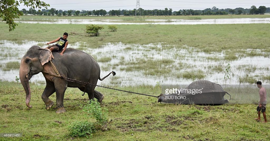 Pobitora Wildlife Sanctuary Guwahati, An Indian Forest Department official, riding an elephant, pulls ...