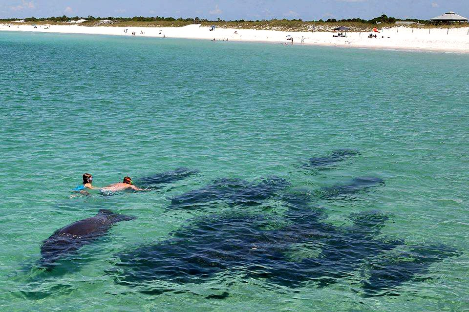 Sanibel–Captiva Conservation Foundation The Lower Gulf Coast, Swimming with manatees at St. Andrews State Park, courtesy of Sea ...