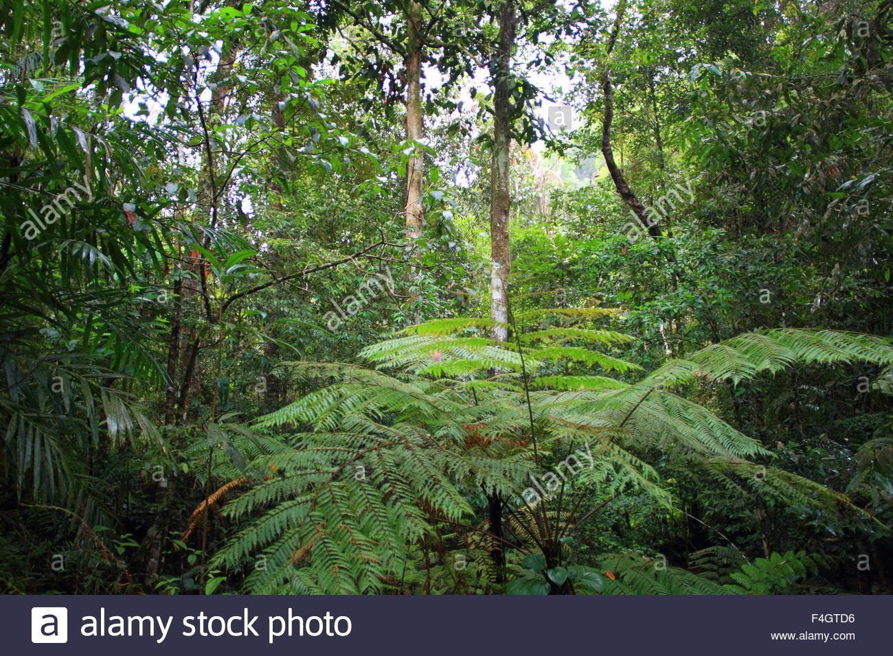 Sinharaja Forest Reserve Sinharaja Forest Reserve, Sinharaja Forest Reserve in Sri Lanka Stock Photo, Royalty Free ...