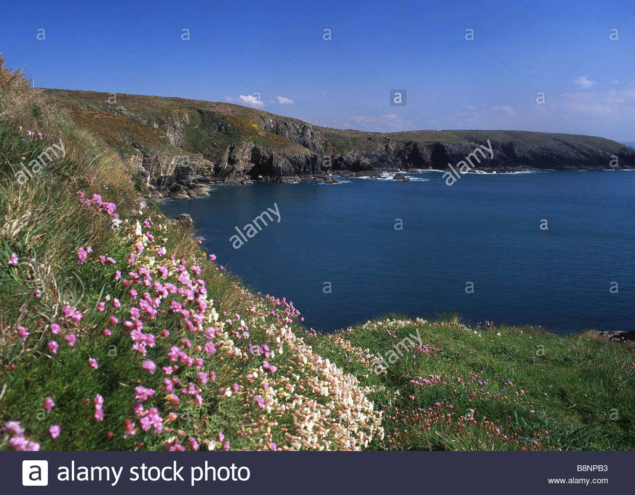 St Non's Bay St Davids (Tyddewi), St Non's Bay in springtime with thrift (sea pink) in foreground ...