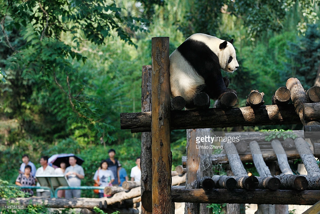 Theatre Stage Běijīng, Giant Pandas In Beijing Zoo Photos and Images | Getty Images