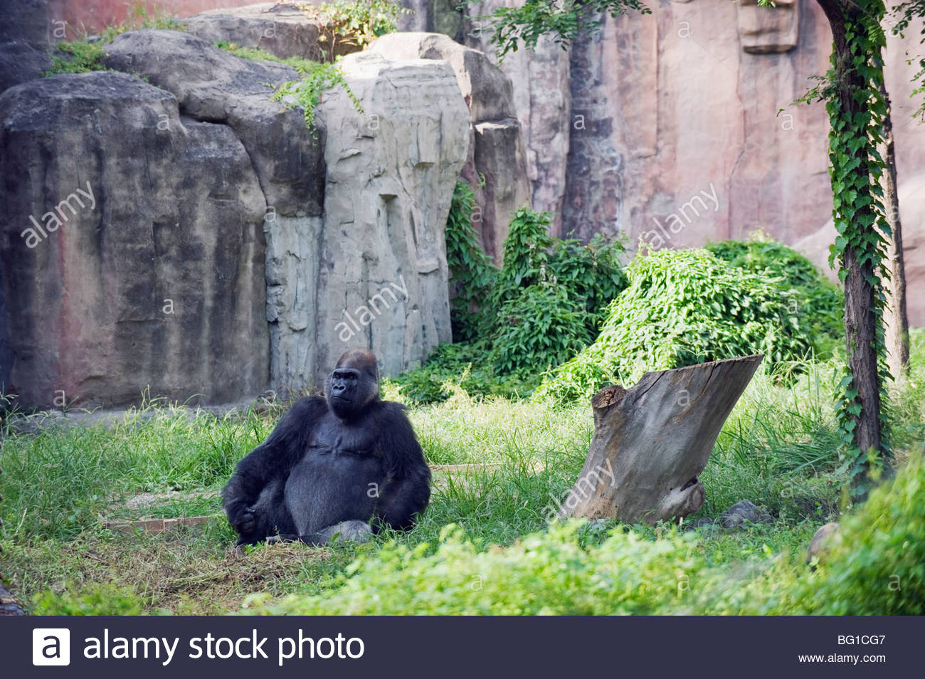 Theatre Stage Běijīng, A gorilla sitting at Beijing Zoo, Beijing, China, Asia Stock Photo ...