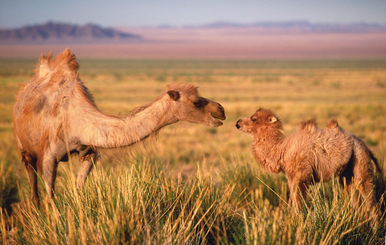 Tost Tosonbumba Nature Reserve Gurvantes, The Last Wild Camels – Advocacy for Animals