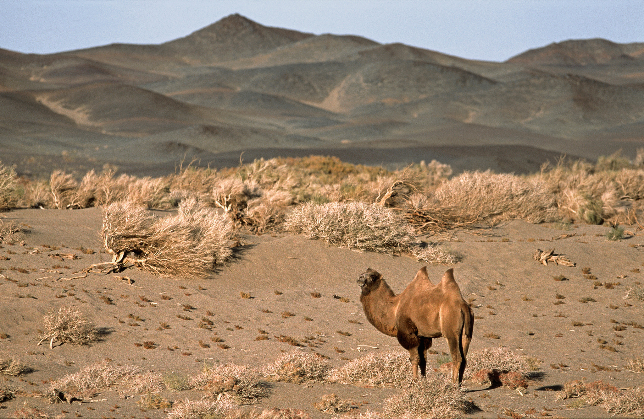 Tost Tosonbumba Nature Reserve Gurvantes, Can Angry Young Males Save a Critically Endangered Camel?