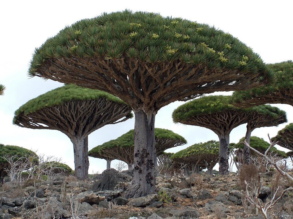 Tree of Life Arabian Peninsula, This is not a Yes album cover; it's one of the Socotra Islands ...
